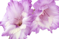Gladiolus. Isolated on white background royalty free stock images