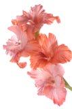 gladiolus Στοκ φωτογραφία με δικαίωμα ελεύθερης χρήσης