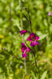 Gladiolus Zdjęcia Stock