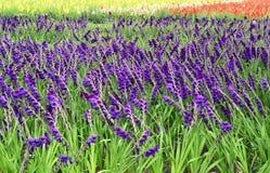 Gladiolus. Stock Image
