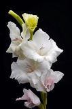 Gladiolus Royalty Free Stock Photo