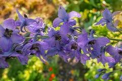 gladiolus Royaltyfri Bild