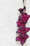 gladiolus Στοκ εικόνα με δικαίωμα ελεύθερης χρήσης