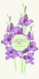 gladiolus Arkivbilder