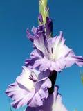 gladiolus Image libre de droits