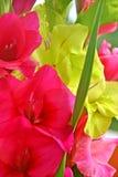 gladiolus Fotografia Stock