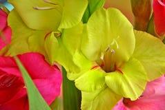 gladiolus Fotografie Stock Libere da Diritti