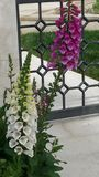 gladiolus Стоковое Фото