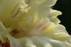 gladiolus Lizenzfreie Stockfotos