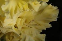 gladiolus Lizenzfreies Stockfoto