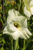 gladiolus Immagini Stock Libere da Diritti