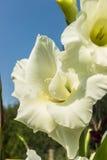 gladiolus Immagini Stock