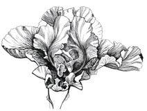 Gladiolus. Beautiful black-white gladiolus head Royalty Free Stock Image