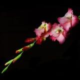 Gladiolus on a black background Stock Photos