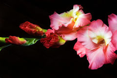 Gladiolus on a black background Royalty Free Stock Photography