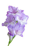 Gladiolus branch. On a white Royalty Free Stock Photography