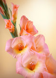 Gladiolus branch with pink flowers and buds Royalty Free Stock Photos