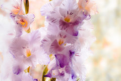 Gladiolus. The bright card with gladioluses Royalty Free Stock Photography