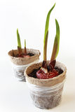 Gladiolus Bulbs Royalty Free Stock Photos