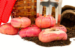 Gladiolus bulbs with a basket, garden rakes, gloves, rope, peat Stock Images