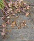 Gladiolus bulbs Stock Image