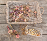 Gladiolus bulbs after the end of the season on a wicker tray Stock Images