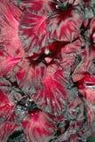 Gladiolus closeup Royalty Free Stock Images
