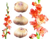 Gladiolus corms and gladiolus flowers isolated on white. Background Royalty Free Stock Photos