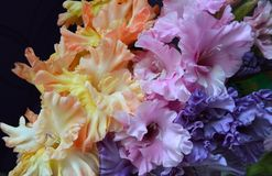 Gladiolus with corrugated flowers. Bouquet of different color gladioluses: peach, pink, blue. Gladiolus with stunning blue coloring. Large flowers. An original Stock Photos