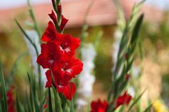 Gladiolus czerwień kwitnie wśród zielenieje pole Fotografia Stock