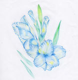 Gladiolus. Drawing blue gladiolus made with colored pencils Stock Images