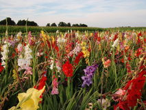 Gladiolus. Field of colorful gladiolus in summer Royalty Free Stock Photo