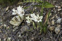 Gladiolus floribundus fynbos flowers Stock Image