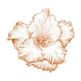 Gladiolus flower. Vector gladiolus flower in vintage engraving style Stock Photos