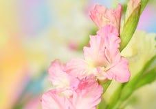 Gladiolus flower. Close-up of gladiolus flower on pastel background royalty free stock photos