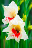 Gladiolus flower Stock Images