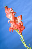 Gladiolus flower Royalty Free Stock Photo