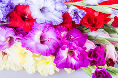 Gladiolus flower Stock Photos