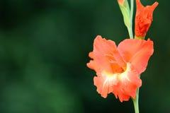 Gladiolus flower. Closeup of fresh gladiolus flower royalty free stock image