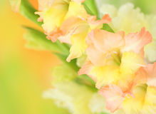 Gladiolus flower on colorful background Stock Image