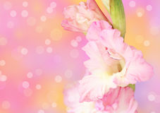 Gladiolus flower on defocused background Stock Photos