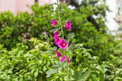 Gladiolus Royalty Free Stock Photos