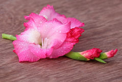 Gladiolus flower of pink color Royalty Free Stock Photography