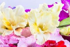 Gladiolus flower Stock Photography