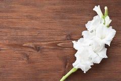 Gladiolus flower Stock Images