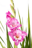 Gladiolus Flowers. Stock Image