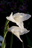 Gladiolus flowers in bloom. Closeup of white Gladiolus flowers in bloom with black background Royalty Free Stock Photo