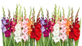 Gladiolus flowers isolated white background. Gladiolus flowers isolated on white background Royalty Free Stock Images