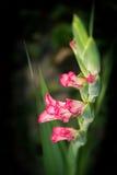 Gladiolus Flowers Stock Images