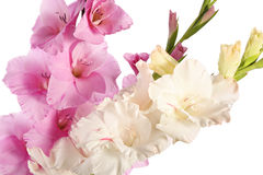 Gladiolus flowers Royalty Free Stock Images